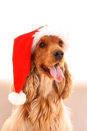Young brown cocker spaniel in christmas hat on white background photo