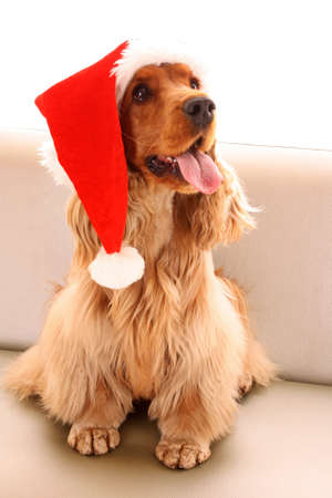 cocker: Young brown cocker spaniel in christmas hat on white background