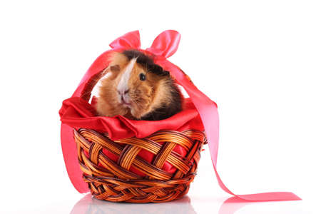 funny brown cavy on white background photo