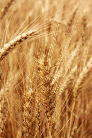 wheat fieldready for harvest growing photo