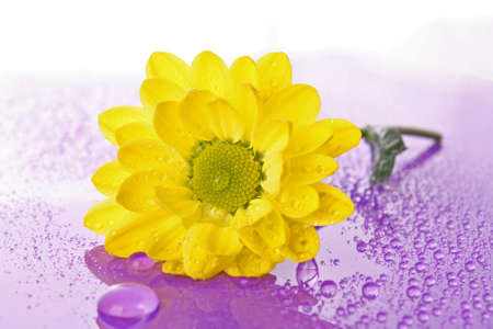 Yellow camomile on white background Stock Photo - 7468370