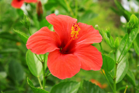 Red tropic flower outdors Stock Photo - 8081760