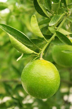 florida citrus: Mandarin  tree