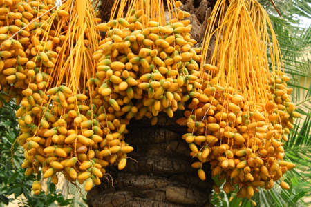 riped yellow dates hanging on the tree Stock Photo - 8081720
