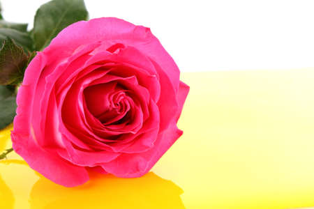 Big and beautiful pink rose on a white background Stock Photo - 8253130