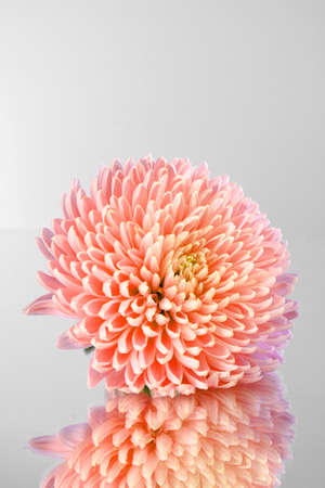 Pink aster flower on grey background photo