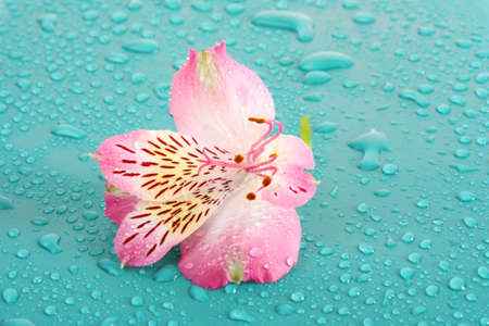 Pink flower on blue background photo