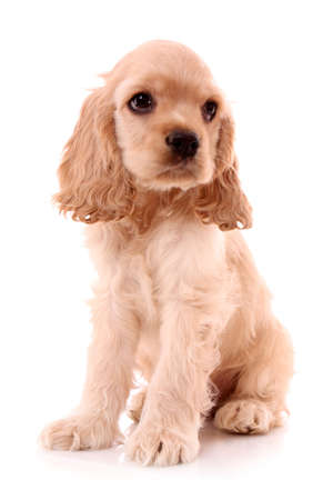cocker: Puppy cocker spaniel on a white background Stock Photo
