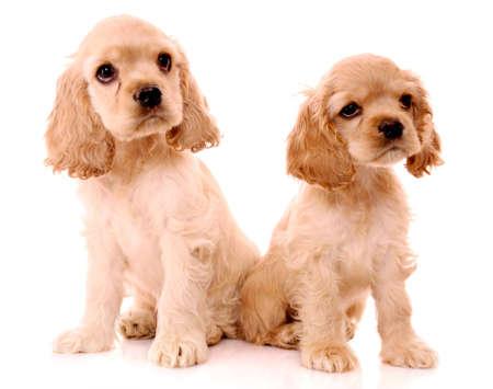 spaniel puppies isolated on white Stock Photo - 9683778
