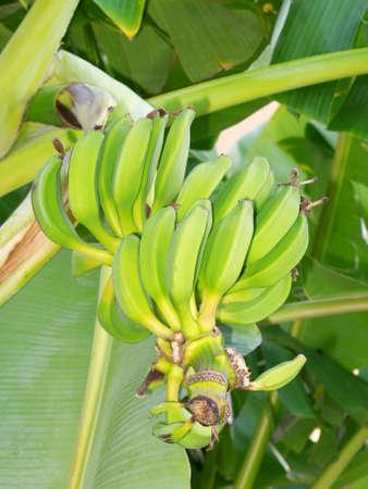Wild bananas on the palm photo