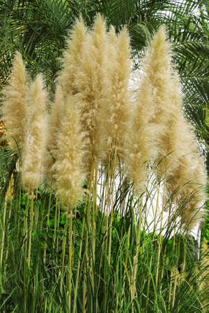 fluffy tuft: beautiful reed in the wild