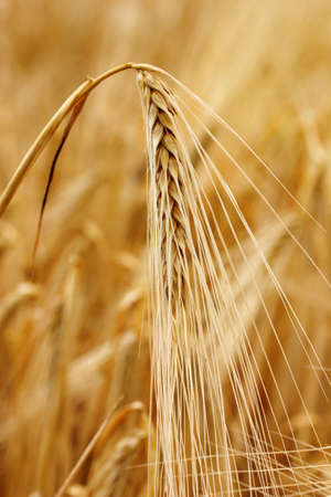 ear of wheat in field photo