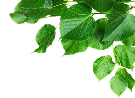 linden: 린든은 잎에 흰색 격리 스톡 사진