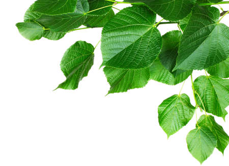 linden leaves isolated on white photo