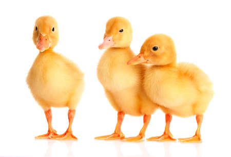 little yellow ducklings isolated on white Stock Photo - 9887312