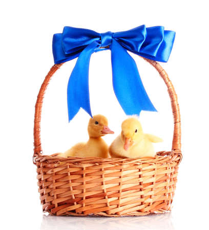 yellow ducklings in a basket with a bow isolated on white photo