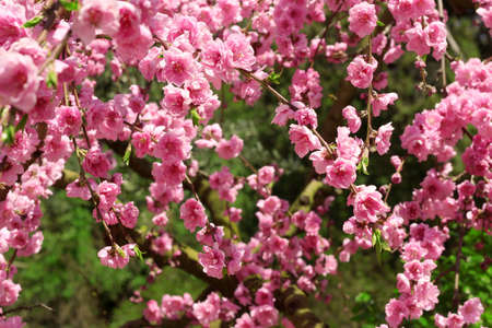 beautiful pink flowers in summer photo