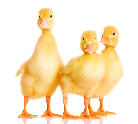 three ducklings isolated on white photo