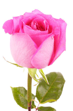 beautiful pink rose on a white background Stock Photo - 10220297