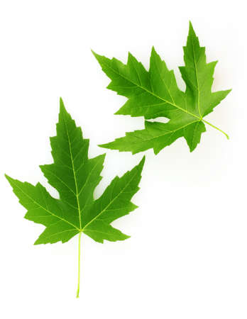 maple leaves isolated on white photo