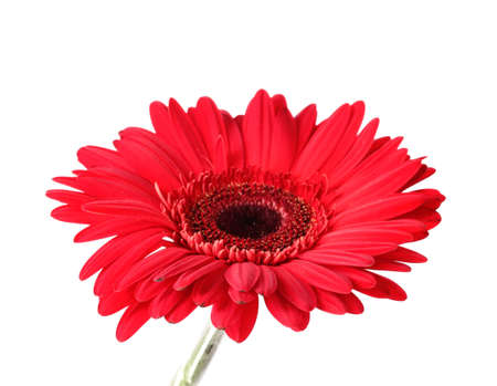 red gerbera isolated on white photo