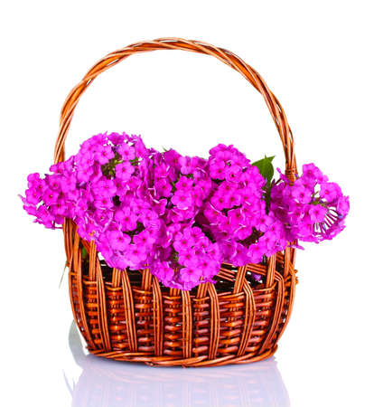 bouquet of phlox in basket isolated on white photo