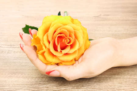 beautiful womans hands and an orange rose on a wooden background photo