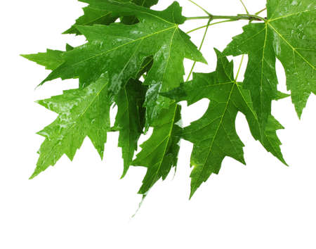 maple leaves isolated on white Stock Photo - 10869577