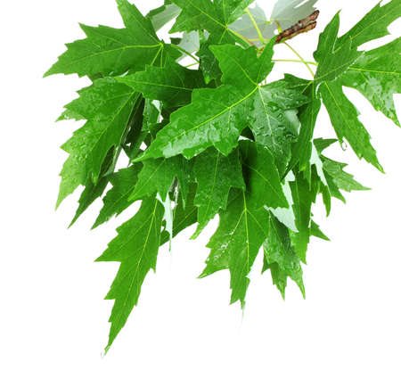 green maple leafs isolated on white Stock Photo - 10869614