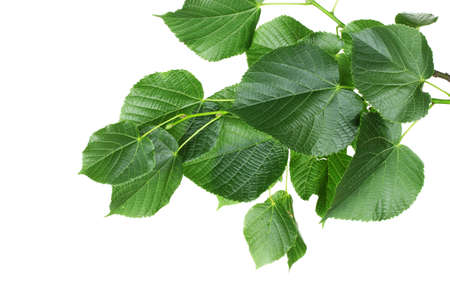 linden green leaves isolated on white photo