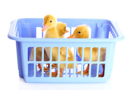 Two small yellow duck in a blue basket isolated on white photo
