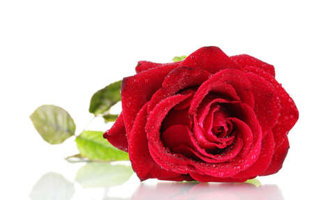 beautiful red rose isolated on white photo