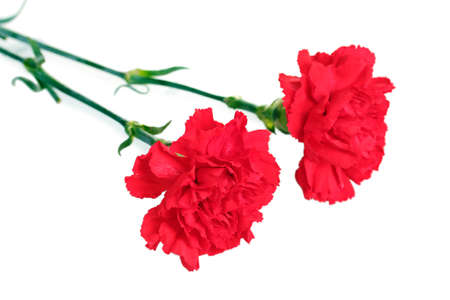 Two red carnation isolated on white photo