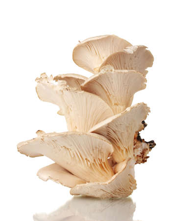 oyster mushrooms isolated on white