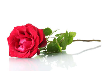 single red rose: beautiful red rose isolated on white Stock Photo