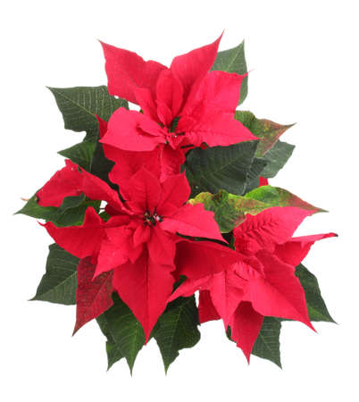 Beautiful poinsettia isolated on white photo