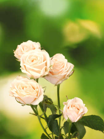 Piccole rose bianche sul verde Archivio Fotografico - 11904226