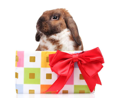 Lop-eared rabbit in a gift box with red bow isolated on white Stock Photo - 11903097