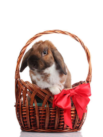 Lop-eared rabbit in a basket with red bow isolated on white photo