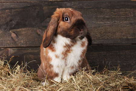 Lop-eared rabbit in a haystack on wooden background Stock Photo - 11904723