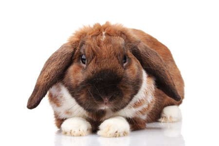 Lop-eared rabbit isolated on white photo
