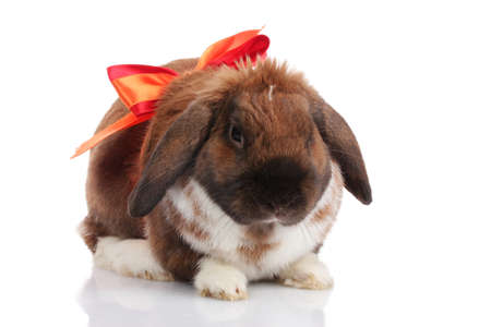 Lop-eared rabbit with red bow isolated on white photo