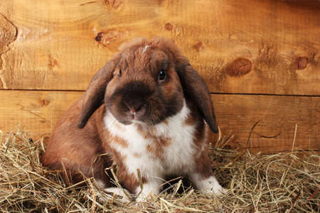 Lop-eared rabbit in a haystack on wooden background Stock Photo - 11905334