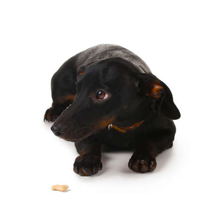 black little dachshund dog isolated on white Stock Photo - 11954150