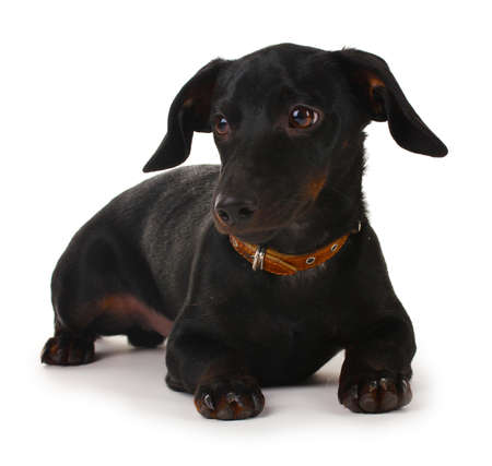 black little dachshund dog isolated on white Stock Photo - 11954167