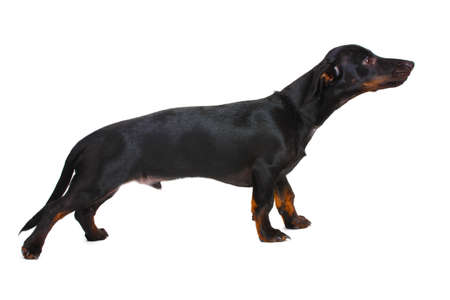 black little dachshund dog and bone isolated on white Stock Photo - 11954169