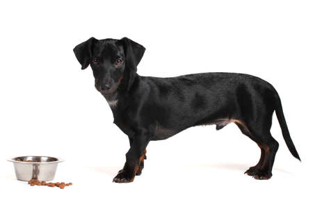 black little dachshund dog and food isolated on white photo