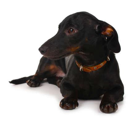 black little dachshund dog isolated on white photo