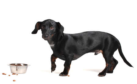 black little dachshund dog and food isolated on white Stock Photo - 11999754