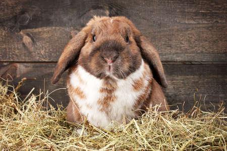 Kaninchen mit Hängeohren im Heuhaufen auf Holzuntergrund